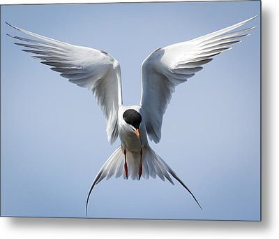Common Tern Metal Print