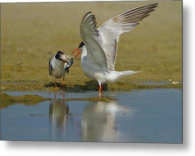Common Tern (sterna Hirundo) Metal Print