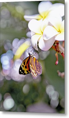 Common Tiger Glassywing Butterfly On Plumeria Bloom Metal Print