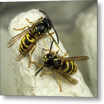Common Wasps Metal Print
