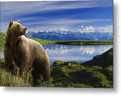 Composite Grizzly Stands In Front Of Metal Print