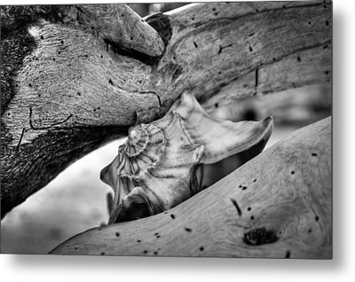 Conch Shell One Metal Print