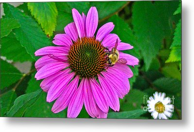 Cone Flower An Bumble  Metal Print by Brittany Perez