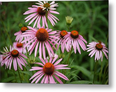 Cone Flowers Metal Print by Donald Williams