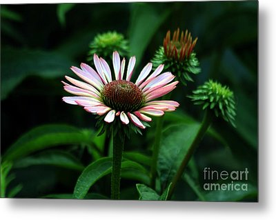 Metal Print featuring the photograph Coneflower 2014 by Marjorie Imbeau