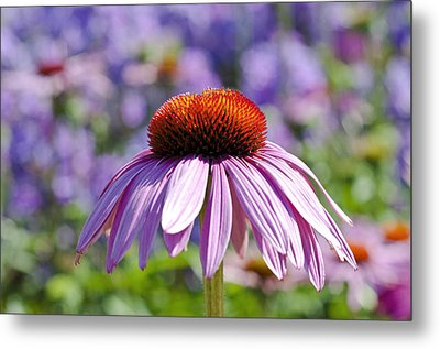 Metal Print featuring the photograph Coneflower by Lana Enderle