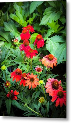 Coneflowers Echinacea Rudbeckia Metal Print by Rich Franco