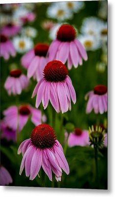 Coneflowers In Front Of Daisies Metal Print