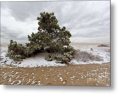Conifer On A Snowy Cape Cod Beach Metal Print by Michelle Wiarda