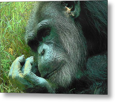 Metal Print featuring the photograph Contemplative Chimp by Rodney Lee Williams
