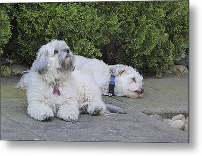 Metal Print featuring the photograph Havanese Dog Sisters B by Laurie Tsemak