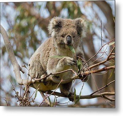 Cool Koala Metal Print by Phil Stone