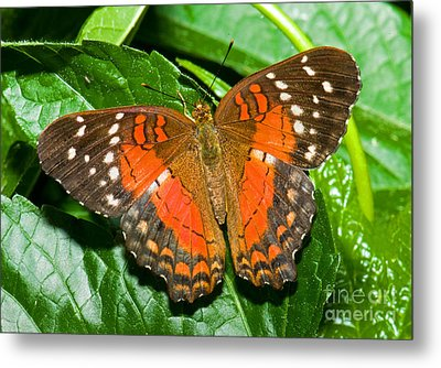 Coolie Butterfly Metal Print