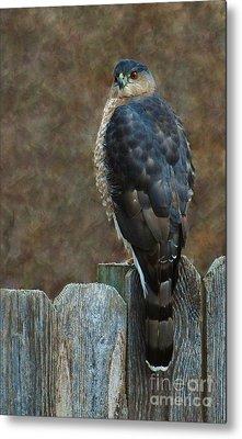 Coopers Hawk Portrait Metal Print by Joy Bradley