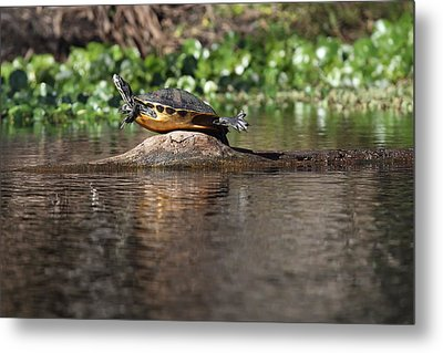 Cooter On Alligator Log Metal Print by Paul Rebmann
