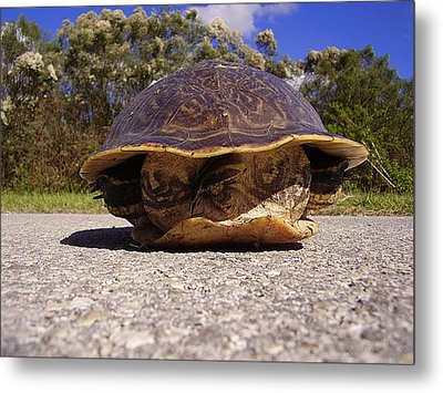 Cooter Turtle 001 Metal Print by Chris Mercer