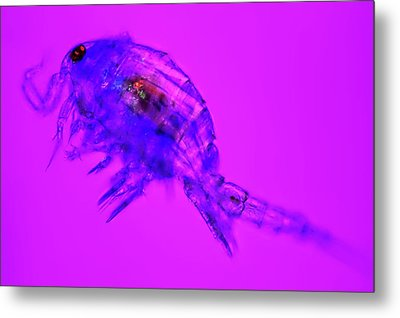 Copepod Crustacean Metal Print by Frank Fox