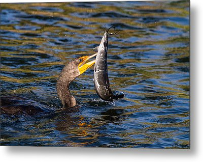 Cormorant And Its Meal Metal Print by Andres Leon