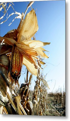 Metal Print featuring the photograph Corn And Husks In A Plantation by Michael Edwards