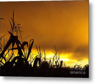 Corn At Sunset Metal Print