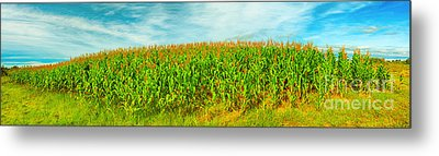 Corn Crop Metal Print by MotHaiBaPhoto Prints