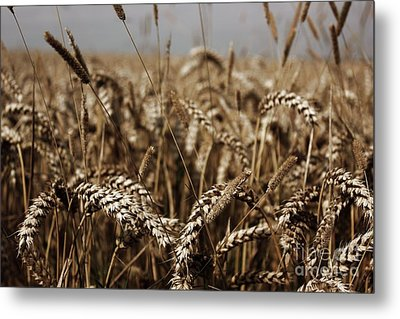 Corn Field Metal Print by Vicki Spindler