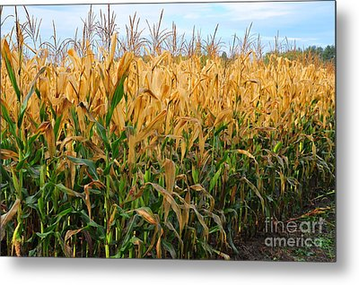 Metal Print featuring the photograph Corn Harvest by Terri Gostola