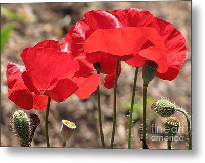 Metal Print featuring the photograph Corn Poppies by Michele Penner