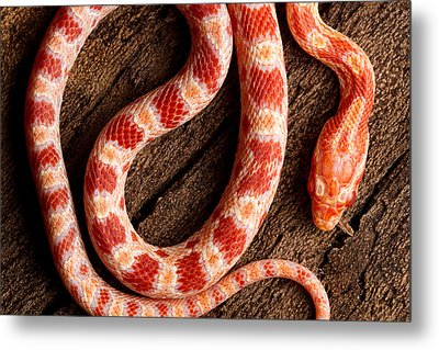 Metal Print featuring the photograph Corn Snake P. Guttatus On Tree Bark by David Kenny