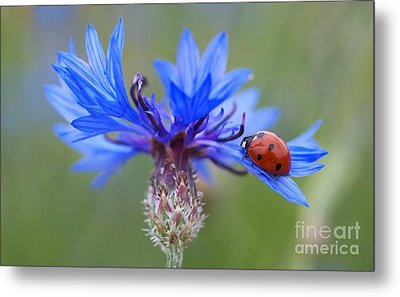 Metal Print featuring the photograph Cornflower Ladybug Siebenpunkt Blue Red Flower by Paul Fearn