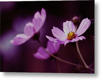 Metal Print featuring the photograph Cosmo After Glow by Kay Novy