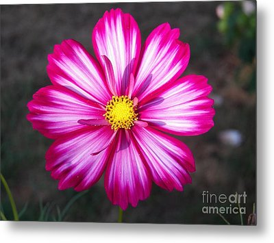 Cosmo Metal Print by Judy Via-Wolff