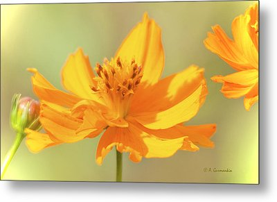 Metal Print featuring the photograph Cosmos Flowers by A Gurmankin