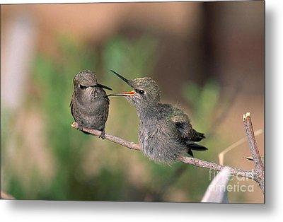 Costas Hummingbird Feeding Young Metal Print