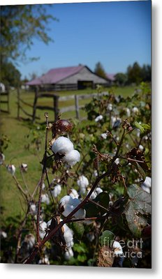 Cotton Farm Metal Print by Jeanne  Woods