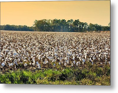 Cotton Fields Back Home Metal Print by Jan Amiss Photography