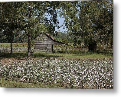Cotton In Rural Alabama Metal Print
