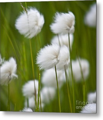 Cottonsedge Metal Print by Heiko Koehrer-Wagner