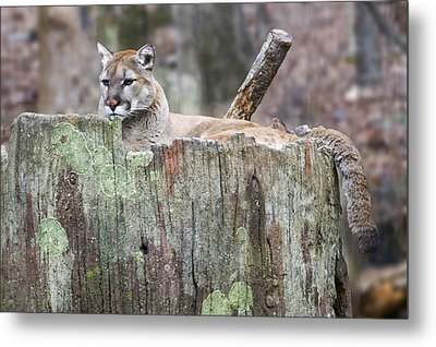 Cougar On A Stump Metal Print