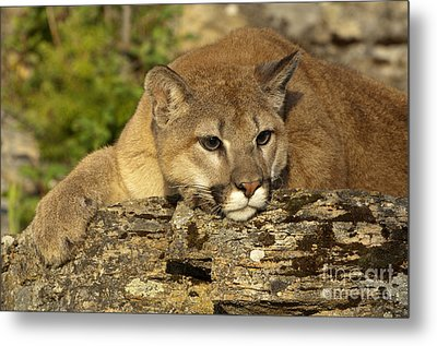 Cougar On Lichen Rock Metal Print