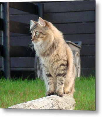 Metal Print featuring the photograph Cougar The Barn Cat 2 by Barbie Batson