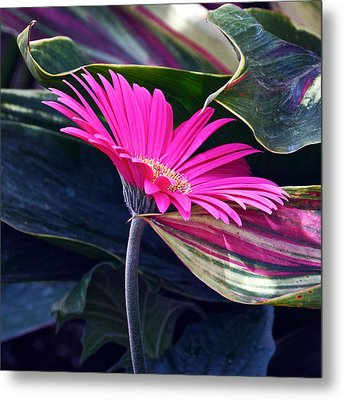 Courting Miss Daisy Metal Print by Byron Varvarigos