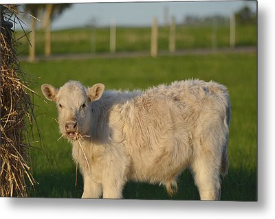Metal Print featuring the photograph Cow 1 by Naomi Burgess