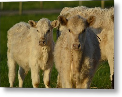 Metal Print featuring the photograph Cow 2 by Naomi Burgess