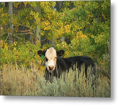 Cow #904 In Aspen Grove Metal Print by Feva  Fotos