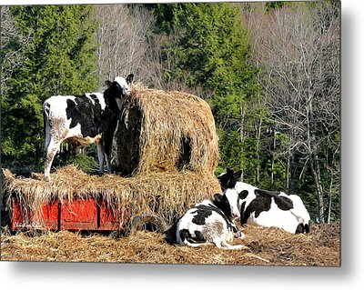 Cow Country Buffet Metal Print by Christina Rollo