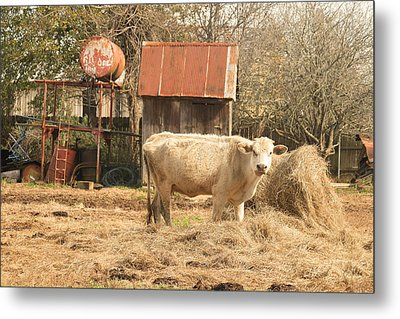 Cow In The Pen Metal Print by Ronald Olivier