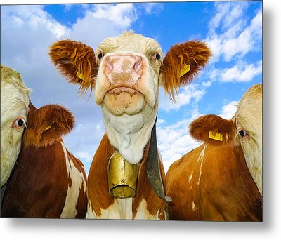 Cow Looking At You - Funny Animal Picture Metal Print by Matthias Hauser