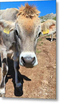 Cow On Alpine Pasture Metal Print by Antonio Scarpi