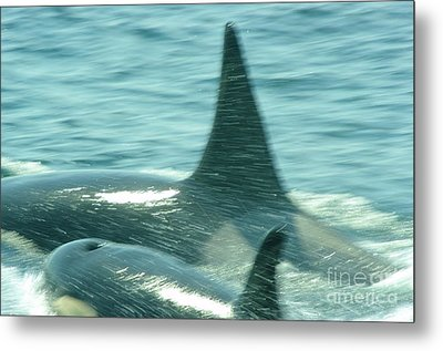 Cow Orca And Her Calf Metal Print by Jeff Swan